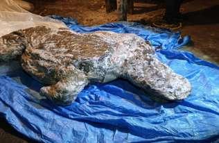 Dobrze zachowany nosorożec włochaty z epoki lodowej znaleziony na Syberii