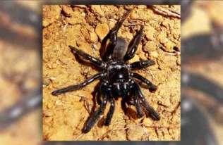 Najstarszy na świecie pająk zdechł w wieku 43 lat