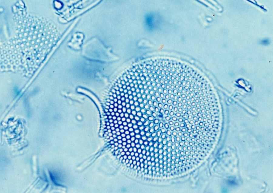 Okrzemki pod mikroskopem