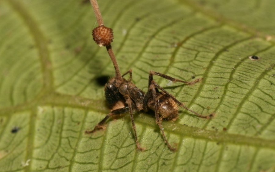 Pasożytniczy grzyb Ophiocordyceps unilateralis