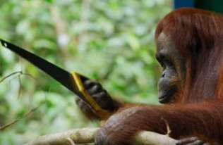 Orangutan korzystający z piły