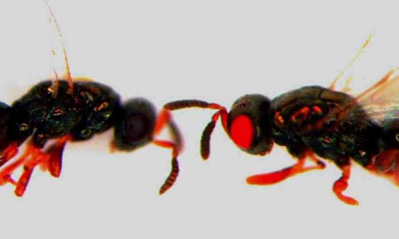 Genetycznie zmodyfikowane osy z czerwonymi oczami