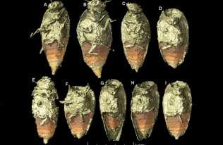 """Nowe gatunek owada znaleziony w skamieniałych odchodach """"opolskiego"""" silezaura"""