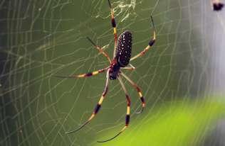 Niektóre pająki tworzą sieci pokryte neurotoksynami paraliżującymi ofiarę