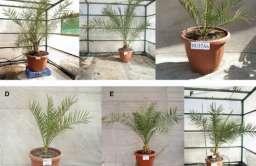 Palmy daktylowe wyhodowane z nasion sprzed 2 tys. lat