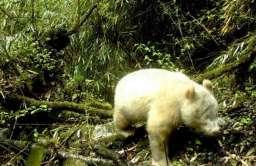 Panda albinos