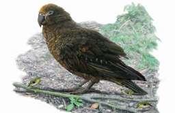 Olbrzymia papuga Herakles inexpectatus