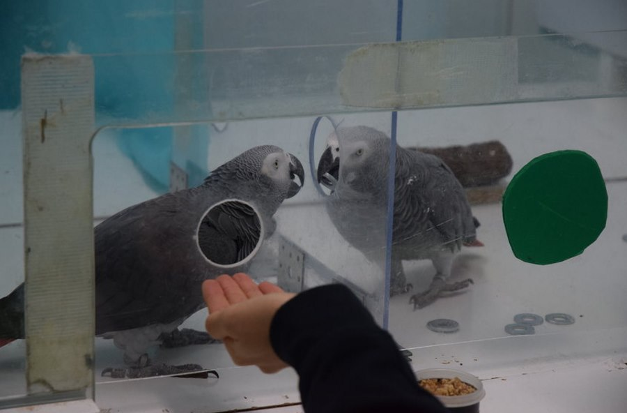 Papugi szare