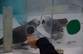 Altruistyczne zachowania wśród papug popielatych