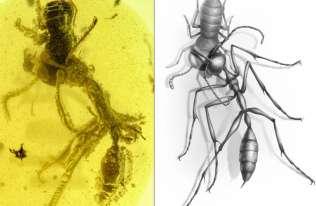 """Ostatnia walka """"piekielnej mrówki"""" utrwalona w bursztynie"""