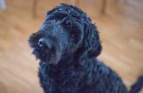 Czarny pies