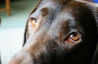 Oczy psa