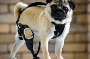 Student weterynarii z Wrocławia drukuje protezy dla okaleczonych psów