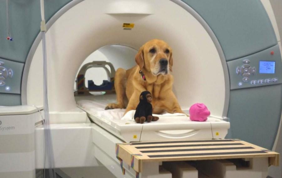 Pies badany metodą rezonansu magnetycznego MRI