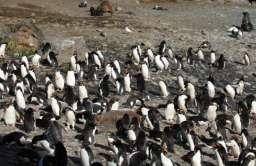 Nieoczekiwany skutek badań. Naukowcy odurzeni gazem rozweselającym z guana pingwinów