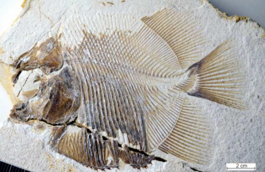 Prehistoryczny krewny piranii