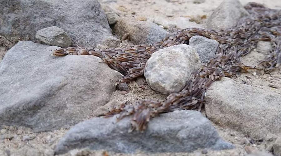 W Tatrach zaobserwowano pleń