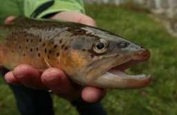 Ryby mogą uzależniać się od narkotyków spływających do rzek wraz ze ściekami