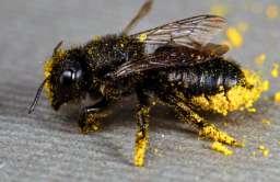 Jedna czwarta znanych gatunków pszczół nie jest już rejestrowana w publicznych bazach danych
