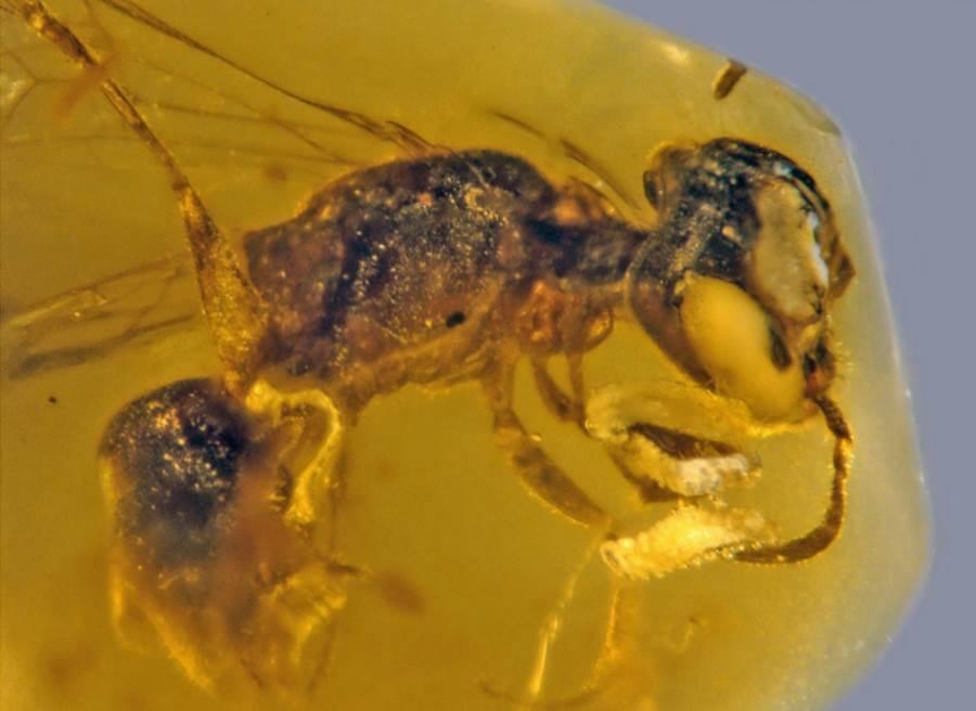 Pszczoła zamknięta w bursztynie sprzed 100 mln lat