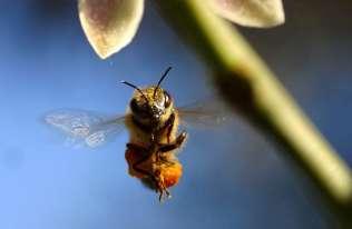 Naukowcy wyszkolili pszczoły do wykrywania koronawirusa