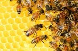 Pszczoły z Afryki, które potrafią tworzyć swoje klony. Mogą mieć miliony kopii