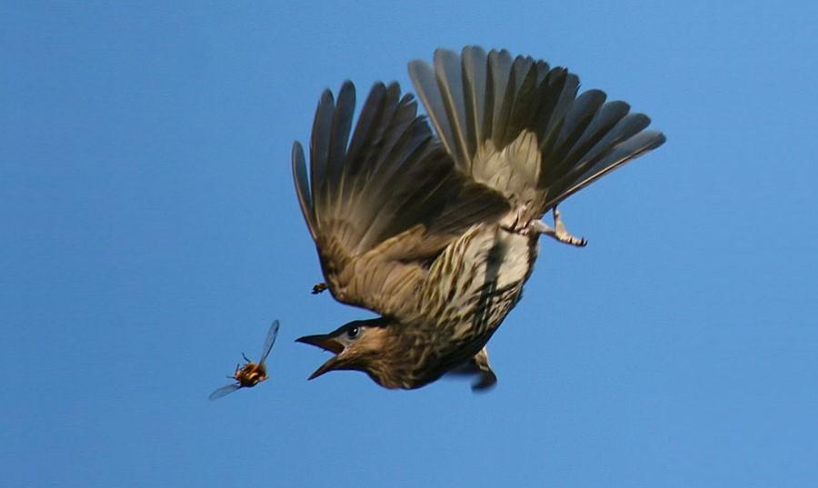 Ptak w trakcie pościgu za owadem