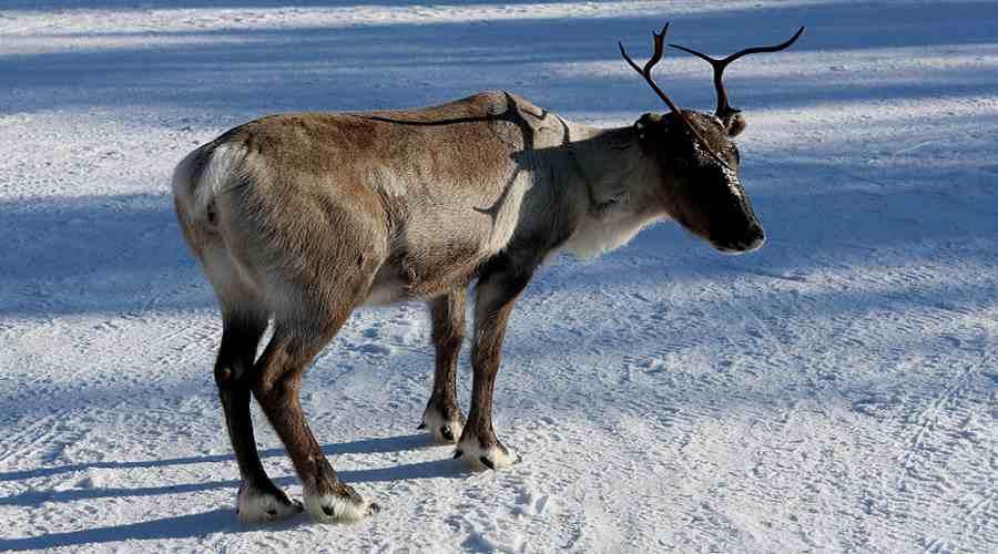 Renifer stojący w śniegu