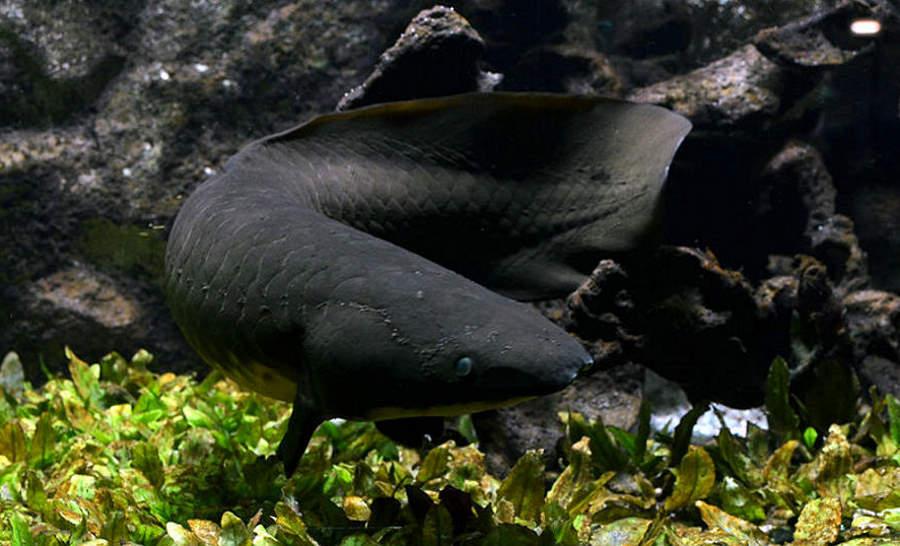 Rogoząb australijski – niepozorna ryba o rekordowo długim genomie