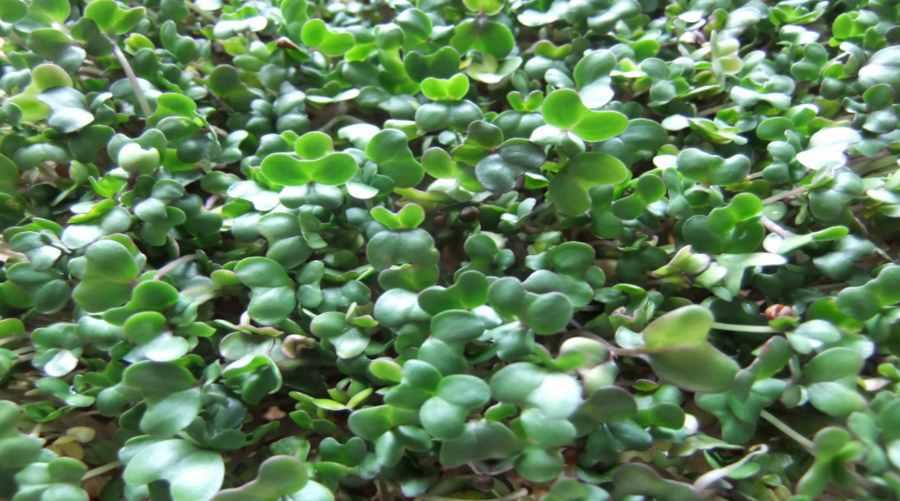 Kiełkujące brokuły