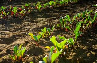 Rośliny mogą przesyłać między sobą podziemne sygnały elektryczne