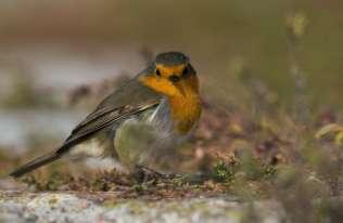 Ptaki przy bożonarodzeniowym żłóbku? Wątki ornitologiczne związane ze Świętami