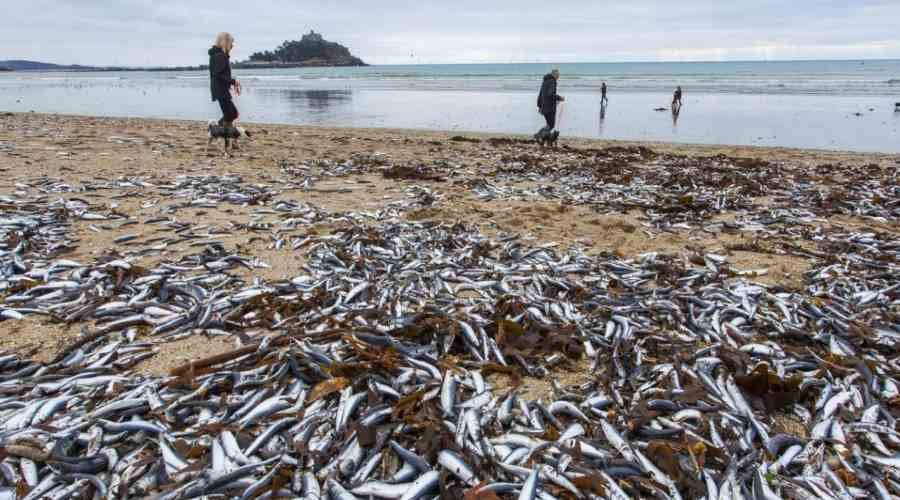 Zdechłe ryby wyrzucone na plażę