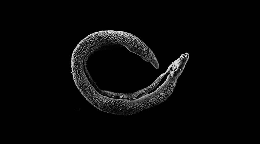 Płaziniec z rodzaju Schistosoma