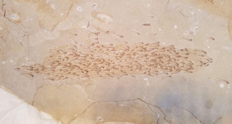 Skamielina z ławicą ryb