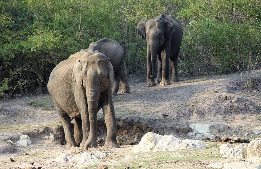 Zagadkowa wędrówka stada słoni przez Chiny