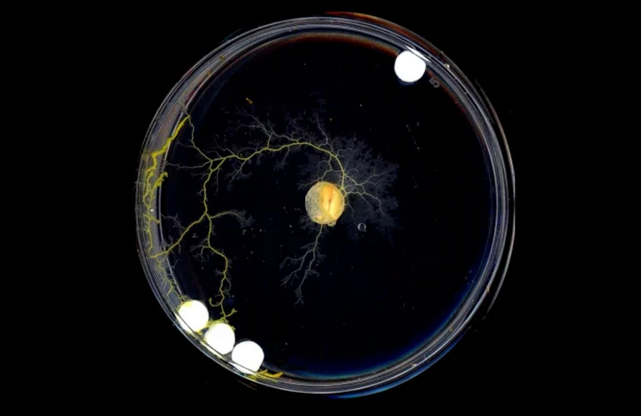 Myślenie bez mózgu. Jak śluzowce podejmują decyzje?