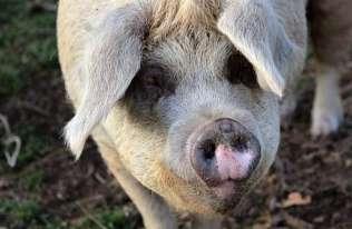 W Chinach wykryto nowy szczep świńskiej grypy o potencjale pandemicznym