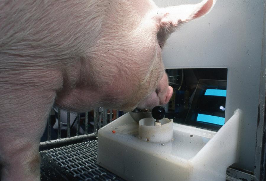 Naukowcy nauczyli świnie obsługiwać joystick i grać w gry wideo