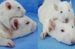 Przeszczepiona głowa szczura do ciała innego szczura