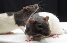 Szczury laboratoryjne