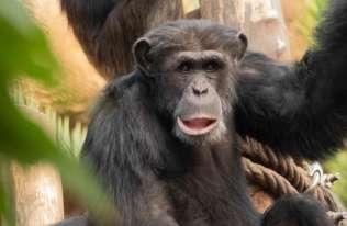Szympansy zaczynają tańczyć, gdy słyszą muzykę