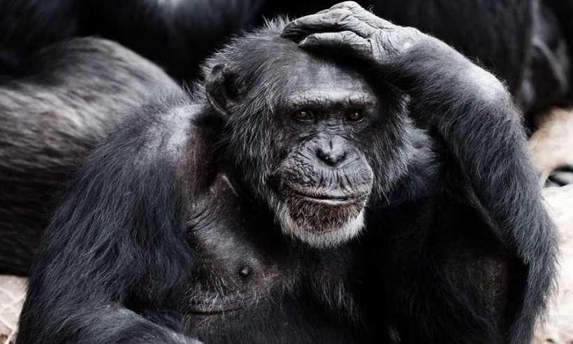 Szympans drapiący się po głowie