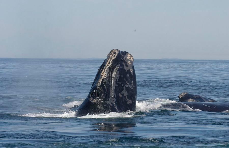 Wieloryb biskajski