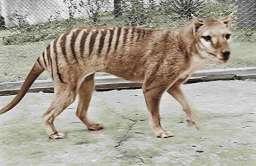 Nagranie ostatniego żyjącego osobnika wilkowora tasmańskiego w kolorze