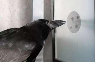 Badania sugerują, że wrony potrafią zrozumieć koncepcję zera