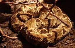Klej z jadu węża zatrzymuje krwawienie w kilkadziesiąt sekund