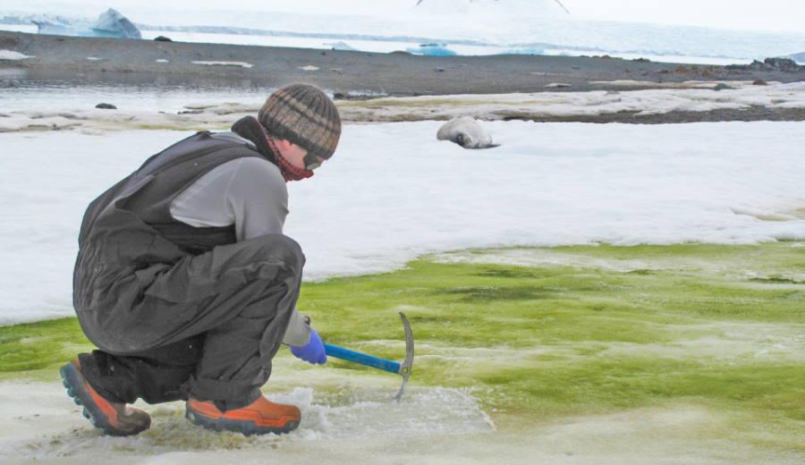 algi na Antarktydzie
