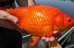 Złote rybki uwolnione z akwariów zagrażają ekosystemom. Gigantyczne okazy znaleziono w USA