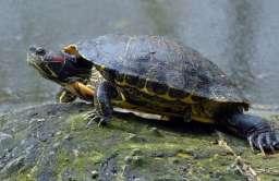 Żółw czerwonolicy